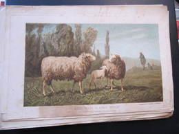 EXTRAIT JOURNAL D'AGRICULTURE - BELIER, BREBIS, AGNEAU DISHLEY - BERGERIE DU HAUT TINGRY - Animaux