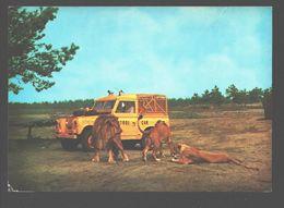 Hilvarenbeek - Safari-Leeuwenpark Beekse Bergen - Leeuw / Lion - Pays-Bas