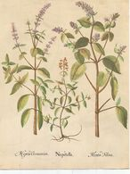 Planche N° 38 Sur Les Plantes (nepetella, Nepeta Germanica, Mentha Felina), Carton Publicitaire TRANSFUSINE - Advertising
