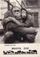 Postcard Orang Outans Bristol Zoo PU 1960 RP My Ref  B22481 - Other