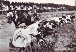 Vita Di Risaia (4) Le Mondine Al Lavoro, Film Riso Amaro Anno 1949 - Culturas