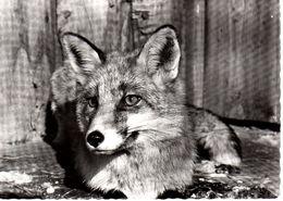Renard Fuchs Volpe Fox - La Garenne Nyon (Cartes Grand Format) - VD Vaud