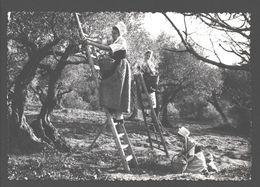 Le Comtat Venaissin - La Cueillette Des Olives - Costumes De Provence - Folklore - 1952 - Ed. Photos G. Augier - Frankrijk
