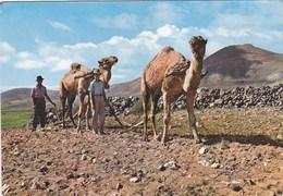 ISLAS CANARIAS - Scène Typique - Labourage Avec Dromadaires (Arrando Con Camellos) - - Espagne