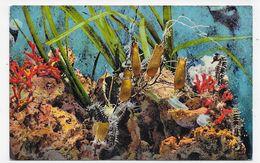 AQUARIUM DE MONACO - N° 010 - HIPPOCAMPUS CUTTULATUS - CPA NON VOYAGEE - Oceanographic Museum