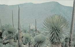 Afrique Africa - Rwanda - Mont Karisimbi - Plantes Séneçons Lobélies - Wildlife Nature Flore - 2 Scans - Rwanda