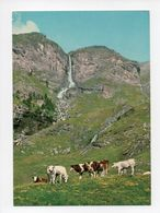 Italie: Massello, Cascata Del Pis, Vaches, Bar Balaiglia (18-970) - Italie