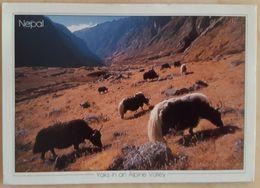 NEPAL - YAKS IN AN ALPINE VALLEY Vg - Nepal