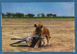 KENYA EAST AFRICA LIONESS CAPTURING ZEBRA 1977 - Kenia