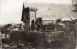 - Troupeau De Vaches à L'abreuvoir . - France