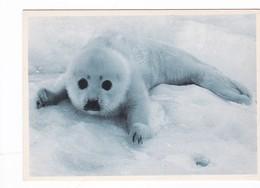 Postcard Seal Pup Close Up Study My Ref  B22530 - Animals