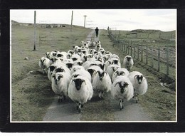 Postcard Farming And Crofting Series The Gathering [ Sheep ] By Sue Anderson Isle Of Coll My Ref  B22538 - Farms