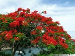 5 Graines De Flamboyant Rouge - 2. Seeds