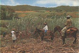 X116661 MARTINIQUE RECOLTE DE LA CANNE A SUCRE - Martinique