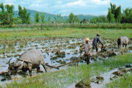 1 AK Thailand * Büffel Bei Der Arbeit Auf Dem Reisfeld * - Thaïlande