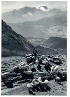 Berger Avec Moutons Sur L'alpage - Schweiz - Suisse (carte10 X 15 Cm) - Farmers