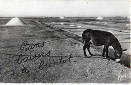 âne Donkey 37, Marais Salants - Anes
