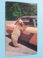 GLACIER GERTIE One-Bear Welcoming Committee ( Bob Anderson ) Anno 1960 ( Zie/voir Foto Voor Details ) ! - Great Falls