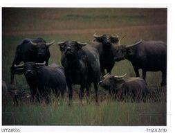 (275) Thailand - Buffalos - Stieren