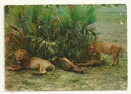 CARTE POSTALE THEME LION  ETHIOPIE - Lions