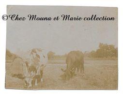 SAINT HUBERT LES ESSARTS LE ROI 1904 - LES VACHES DE MME BOULAN - YVELINES - PHOTO 8 X 6 CM - ST - Lieux