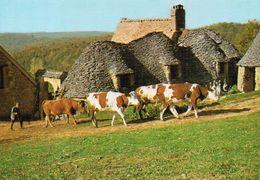 Vaches Animaux Vache Boeufs Veau Paturages Ferme élevage St-André-d'Allas Dordogne - Vaches