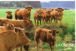 Vaches Animaux Vache Boeufs Veau Paturages Ferme élevage Troupeau Animée La Creuse - Vaches