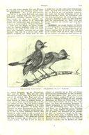 Eichelhäher / Artikel, Entnommen Aus Kalender /1909 - Books, Magazines, Comics