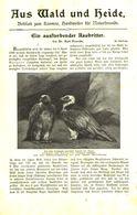 Ein Aussterbender Raubritter (Lämmer-oder Bartgeier) / Artikel, Entnommen Aus Kalender /1909 - Books, Magazines, Comics