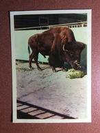 Vintage Russia IZOGIZ Photo Postcard 1963 Buffalo Bison - Stieren