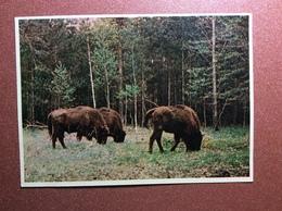 Vintage USSR Belarus Postcard 1950s Aurochses URUS. Bull. Byelovezha Thickwood - Stieren