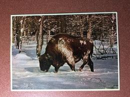 Vintage USSR Belarus Postcard 1950s Aurochs URUS. Bull. Byelovezha Thickwood - Stieren