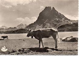 Vaches Animaux Vache Boeufs Veau Paturages Ferme élevage Troupeau Les Pyrénées Lac D'Ayous Pic Du Midi D'Ossau - Vaches