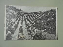 GEORGIE BATOUM UNE PLANTATION DE THE A TCHAKVA PRES BATOUM - Georgia