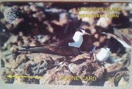 3CASD Wide Awake Tern 25 Pounds - Isole Ascensione