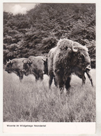 Germany Old Uncirculated Postcard - Animals - Bufallo - Stieren