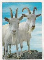 Norway Old Uncirculated Postcard - Animals - Goat - Stieren