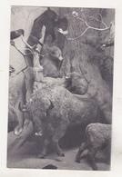 Old Used Postcard - Animals - Stieren