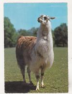 Germany Old Uncirculated Postcard - Animals - Llama - Stieren