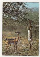 Kenya Old Used Postcard - Animals - Gerenuk - Stieren