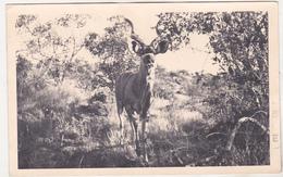 Namibia Old Used Postcard - Animals - Antelope - Stieren