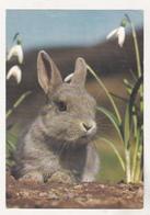 Germany Old Uncirculated Postcard - Animals - Rabbit - Stieren