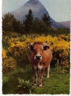 Vache,genets; Les Grands Paysages Du Vivarais Mont Gerbier Des Joncs Source De La Loire - Vaches