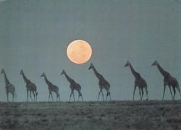 Tanzanie. Girafes. - Tanzania