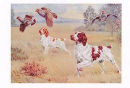 Epagneul Breton - Brittany Spaniel - Hunting - Chasse - Caccia - Dog - Chien - Cane - Hund - Hond - Perro - Honden