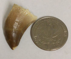Cretaceous Age Fossil MOSASAUR TOOTH (G7198) - Fossils