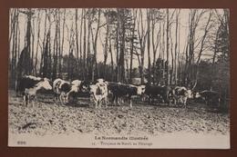 LA NORMANDIE ILLUSTREE - 44. TROUPEAU DE BOEUFS AU PATURAGE - Basse-Normandie