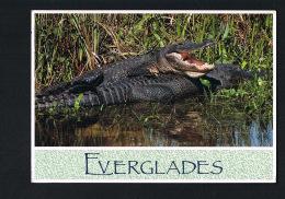 FLORIDA - U.S.A. - American Alligators - EVERGLADES - Voyagée 1993- Scans Recto Verso  -Paypal Free - Etats-Unis