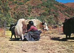 Nepal - Sherpa Girl And Yak - Nepal