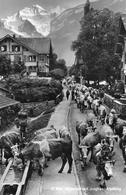 WILDERSWYL → Alpabzug, Dorfstrasse Mit Dutzenden Von Kühen, Ca.1960 - BE Bern